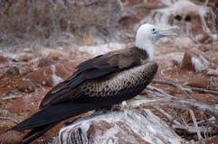 Frigate bird. Female Frigate-bird sitting on the stone, Galapagos Stock Image