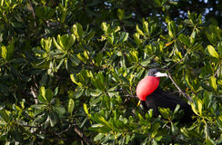 Frigate Bird. A frigate bird in the trees Stock Images