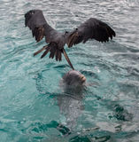 Frigate bird above Dolphin playing in the water Royalty Free Stock Photos