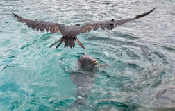 Frigate bird above Dolphin playing in the water Stock Image