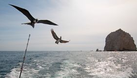 Frigate Bird And Pelican Flying Behind Charter Fishing Boat In Cabo San Lucas Baja California Mexico Stock Image