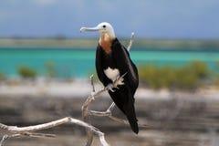 Frigate Bird Juvenile Stock Image