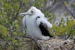 Frigatebird chick Stock Images
