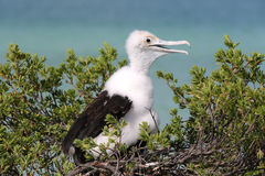 Frigate Bird Chick. Stock Image
