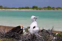 Frigate Bird Chicks. Royalty Free Stock Image