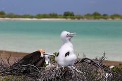 Frigate Bird Chicks. Royalty Free Stock Image