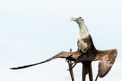 Frigate Bird Drying Her Feathers Royalty Free Stock Images