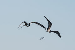 Frigate bird while fighting for a fish catch Royalty Free Stock Image