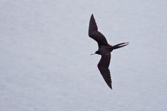 Frigate bird in flight. Male frigate bird in flight seen from above Royalty Free Stock Images