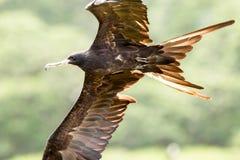 Frigate Bird In Flight Close Up Royalty Free Stock Photos