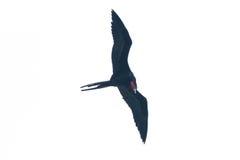 Frigate bird Royalty Free Stock Photos