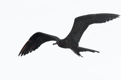 Frigate Bird in Flight Royalty Free Stock Photos