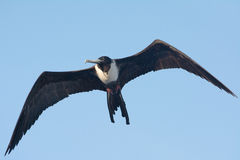 Frigate Bird in Flight Royalty Free Stock Images