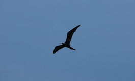 Frigate bird flying Stock Photo