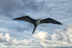 Frigate bird. While flying in the sky background stock photos