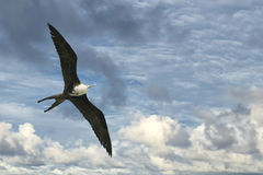 Frigate bird Royalty Free Stock Image