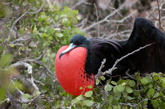 Frigate bird, Galapagos. Frigate bird with inflated red pouch(gular). Seymour Island,Galapagos Stock Image