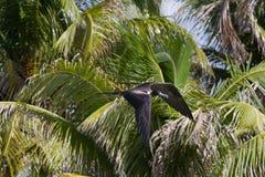 Frigate bird Stock Photos