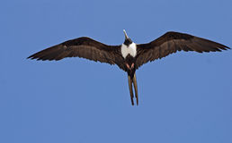 Frigate bird gliding with spread wings royalty free stock photo
