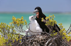 Great Frigate Bird Male with a Chick. Royalty Free Stock Photo