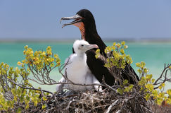 Great Frigate Bird Male with a Chick. Royalty Free Stock Photography