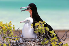 Great Frigate Bird Male with a Chick. Stock Image