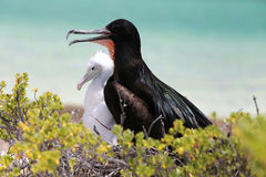 Great Frigate Bird Male with a Chick. Royalty Free Stock Image
