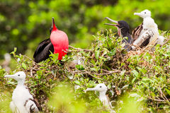 Frigate Bird Male Stock Image