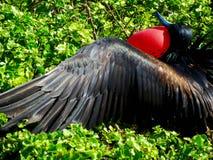 Frigate bird stock images