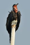 Frigate bird open its mouth Stock Photography