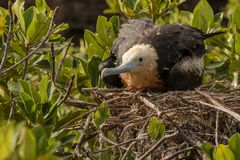 Frigate bird. This is a photograph of a frigate bird taken in the galapagos islands, Ecuador stock image