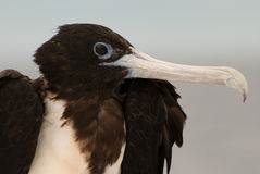 Frigate bird portrait Galapagos Islands Royalty Free Stock Images