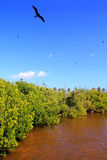Frigate bird reproduction Contoy island mangrove Stock Image