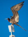 Frigate bird showing its wing, Galapagos Islands, Ecuador Stock Photo