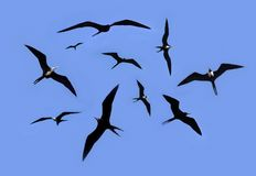 Frigate bird silhouette backlight breeding season Stock Images