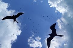 Frigate bird silhouette backlight breeding season Royalty Free Stock Photo