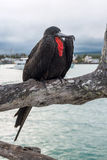 Frigate bird sits on a branch on the background of the Academic. Bay in Puerto Ayora. Santa Cruz, Galapagos Islands, Ecuador Stock Images