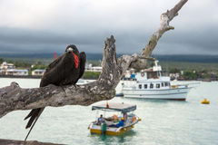 Frigate bird sits on a branch on the background of the Academic. Santa Cruz, Galapagos Islands, Ecuador - August 13, 2012: Frigate bird sits on a branch on the Royalty Free Stock Photography
