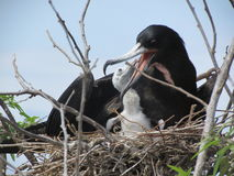 Frigate birds Royalty Free Stock Photo