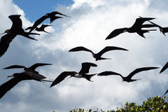 Frigate birds Stock Photos