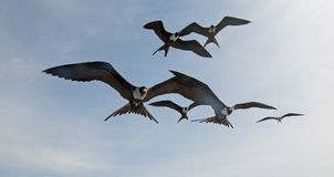 Frigate Birds flying in Cabo San Lucas Baja California Mexico. BCS royalty free stock images