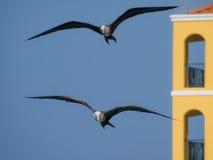 Frigate Birds Royalty Free Stock Photography