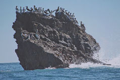 Frigate birds gather on rocky knoll. Royalty Free Stock Photography