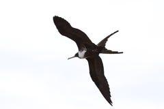 Frigate birds Royalty Free Stock Photos
