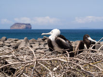 Frigate birds nesting in the Galapagos Islands Royalty Free Stock Photo