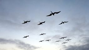 Frigate birds soar next to boat