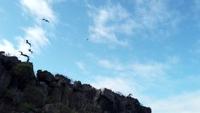 Frigate birds soar next to shore