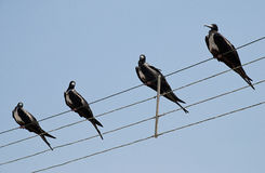 Frigate birds on a wire stock images