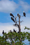 Frigate seabird on mangrove tree Stock Image