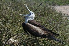 frigatebird加拉帕戈斯壮观的年轻人 免版税图库摄影